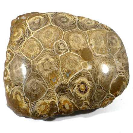 Propriétés & vertus du corail fossile
